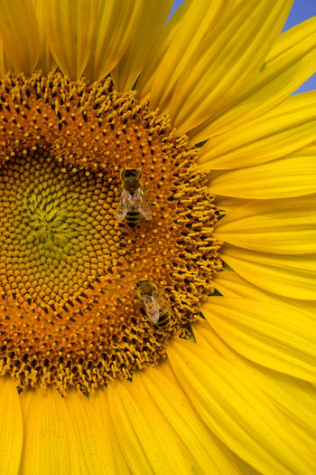 Extreme close-up of insect on sunflower