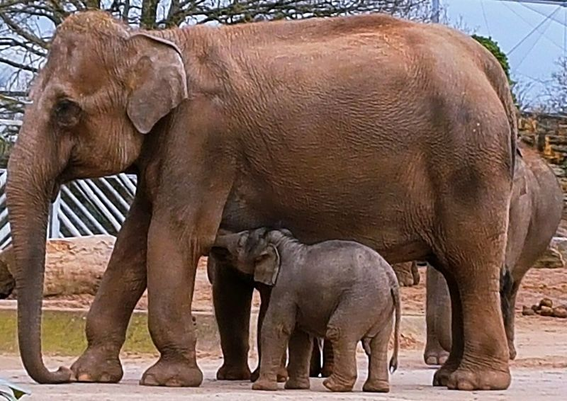 Elephant Animal Elephant Calf Animal Family Young Animal No People Animals In The Wild Day Togetherness Nature Outdoors Animal Trunk Mammal Elelphants Elephant Feeding Elephant Trunk Elephant Calf Feeding Chester Zoo