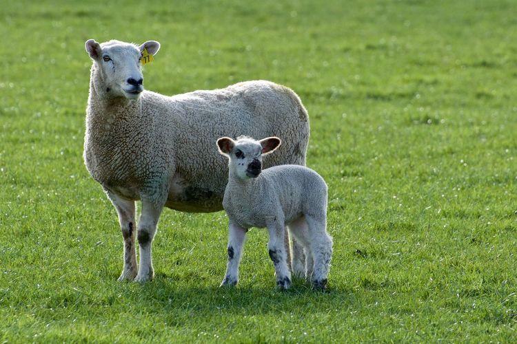 Sheep and lamb Beauty In Nature Field Grass Grassy Green Lamb Lamb Chops Leg Of Lamb Livestock New Zealand No People NZ Pasture Roast Lamb Sheep Tranquility Wool