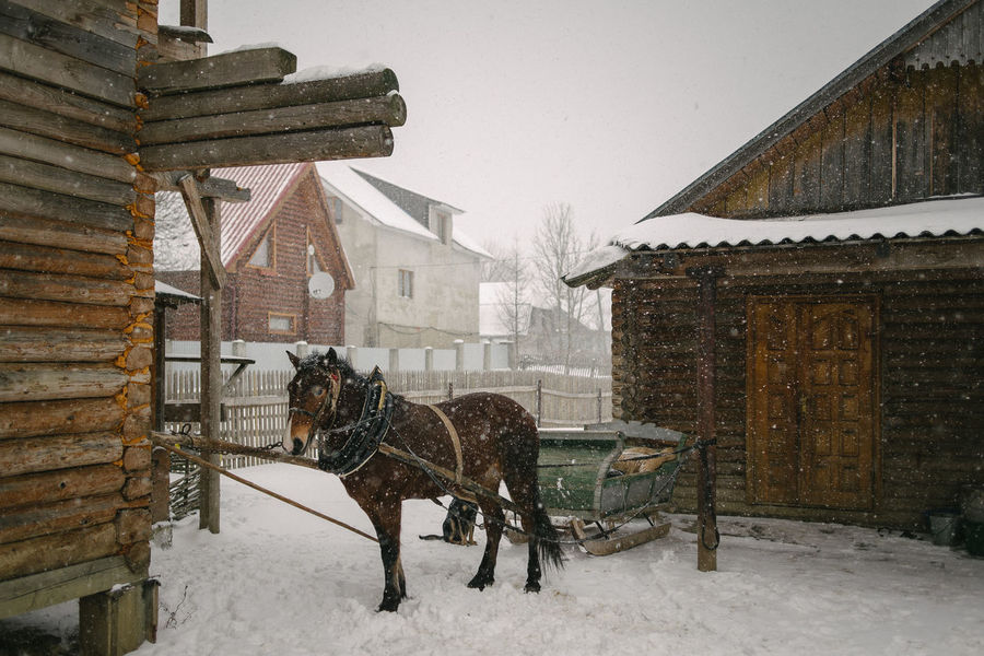 Transcarpathian region. Ukraine Cold Temperature Domestic Animals Horse House No People One Animal Outdoors Snow Snowing Weather Winter Shades Of Winter