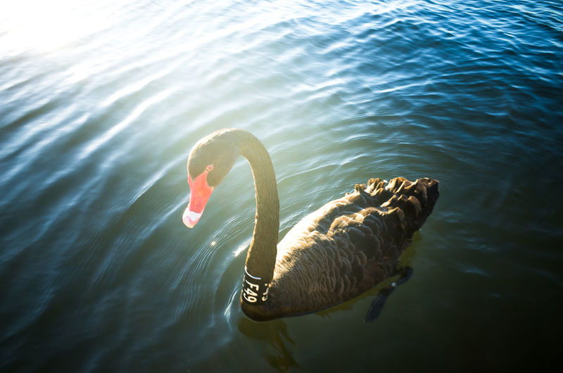 One Animal Water Swan Nature Close-up Outdoors Swimming Lake Bird Animals In The Wild