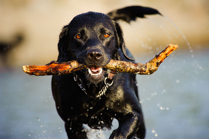 Close-Up Portrait Of Dog Carrying Stick In Mouth