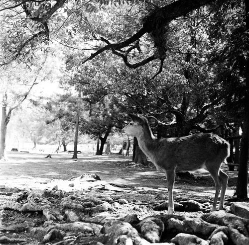 Animals In The Wild Deer Film Nature Trees Animal Animal Themes Animal Wildlife Beauty In Nature Black And White Blackandwhite Blackandwhite Photography Deers Film Photography Filmcamera Filmisnotdead Forest Hasselblad Mammal Monochrome Natur Nature_collection No People Outdoors Tree
