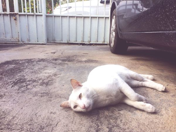thai white cat on ground Home House Car Concrete Parking Floor Ground Garage Comfortable Thai Cat White Cat Animal Cat Pet One Animal Animal Themes Pets Mammal Day