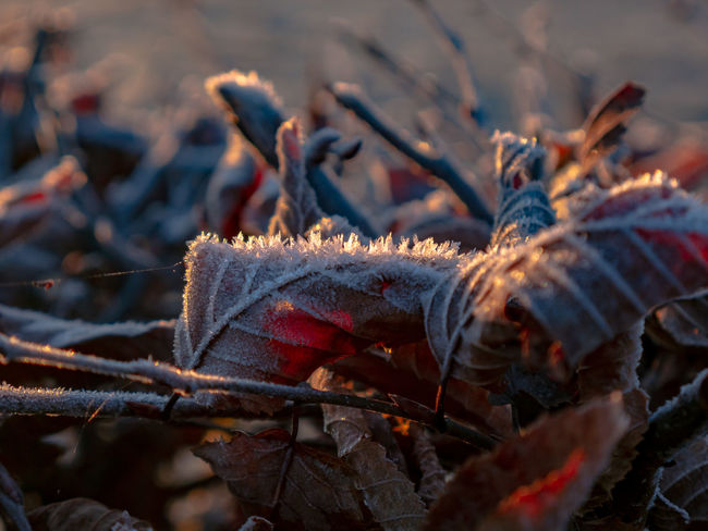 Plant Part Leaf Nature Close-up No People Day Selective Focus Winter Cold Temperature Plant Autumn Outdoors Dry Focus On Foreground Leaves Tree Land Snow Beauty In Nature Change
