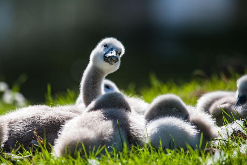 Close-Up Of Ducklings On Grass
