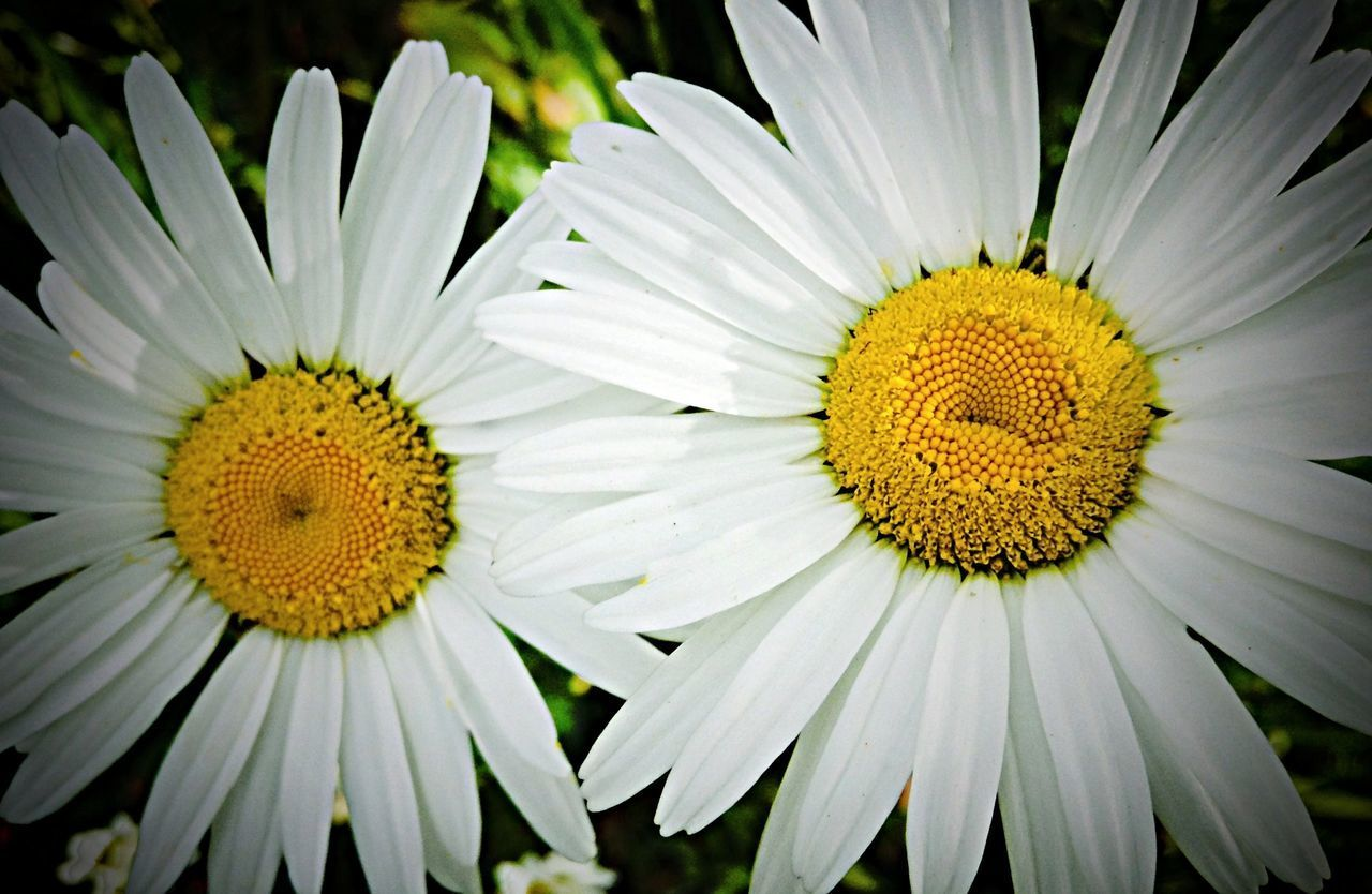 flower, yellow, freshness, petal, flower head, fragility, pollen, beauty in nature, growth, nature, daisy, blooming, close-up, plant, single flower, white color, sunflower, in bloom, outdoors, no people