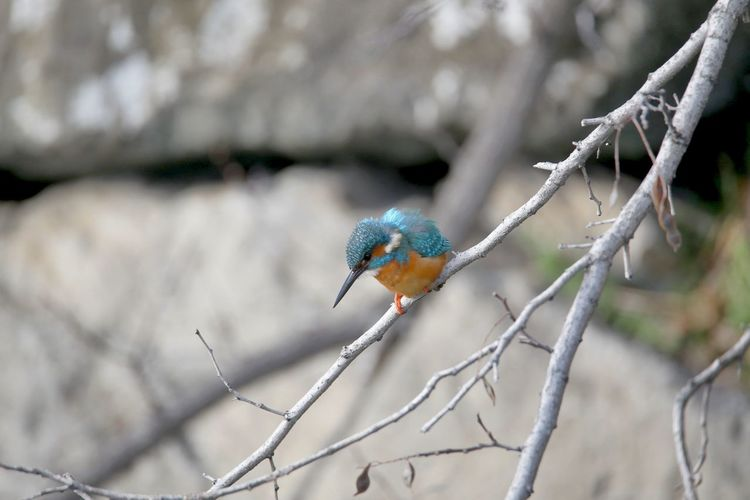 Birdwatching Bird Perching Branch Winter Animal Themes Kingfisher
