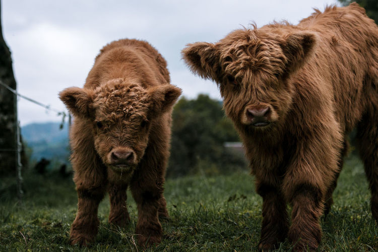 Scottish highland cattle calves babies playing Animal Themes Animals In The Wild Brown Cow Day Domestic Animals Field Grass Highland Cattle Mammal Nature No People Outdoors Sky Standing