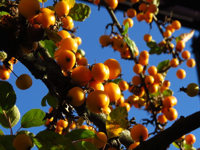 Autumn Autumn Collection Autumn colors Fall Colors Rowanberry Branch Fall Season Focus On Foreground Food Fresh Fruits Fruit Fruit Tree Fruit Trees Growth Healthy Eating Low Angle View Orange Plant Ripe Rowanberries Rowanberry Rowanberry Tree Small Fruit Tree Yellow Fruit