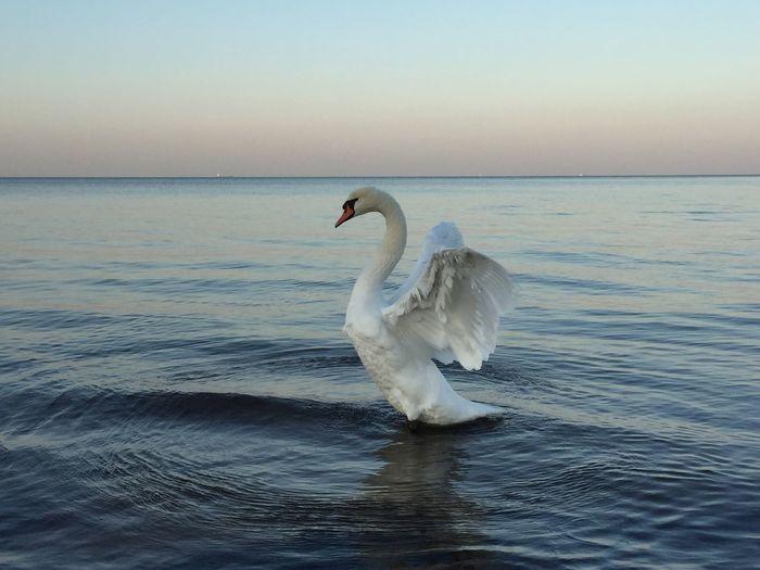 swan Peaceful
