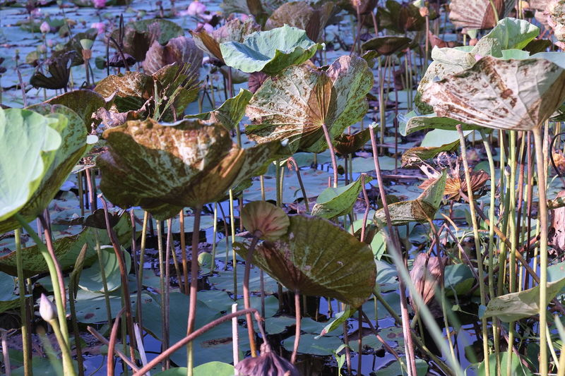 lotus leaf in lake Lotus Leaf Lotus Leaves And Shadows Beauty In Nature Close-up Day Floating On Water Flower Flower Head Fragility Freshness Growth Lake Leaf Lily Pad Lotus Lake Lotus Leaves Nature No People Outdoors Plant Water