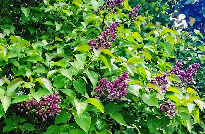 Lilac blossom in May May In Bloom Blooming Petal Plant Life Fragility