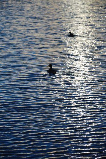 Sunset Water River Duck Minsk City Minsk