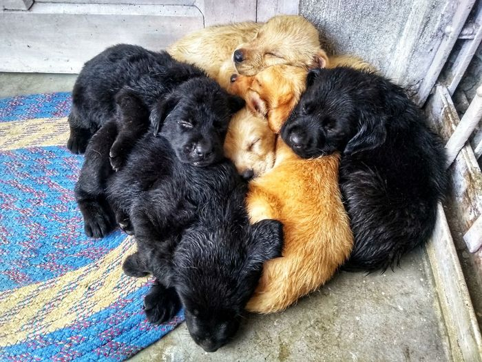 The nap after a bath and heavy lunch 😴 Brownlabrador Sleeping Afterlunch Afterbath Group Photo Siblings Cute Pets Pets Dog Relaxation Black Color Close-up Doormat Puppy Black Labrador At Home Sleeping Pampered Pets Home