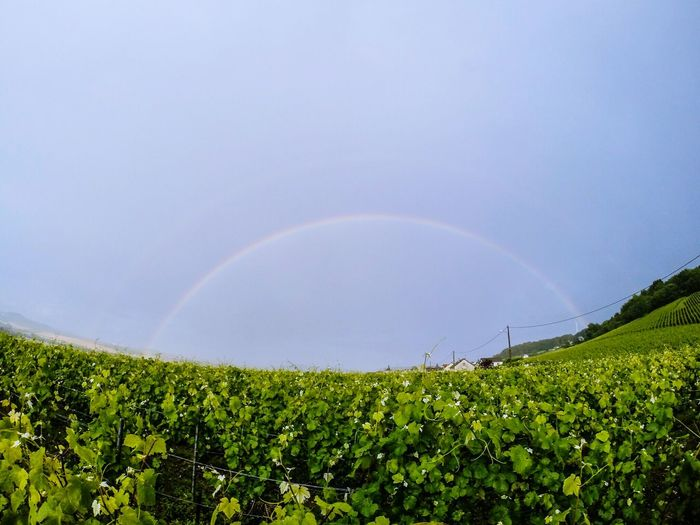 Vivelafrance Wine Champagne France Cloudy Day France Champagne Wine Grapes Rainbow Rainbow Sky Nature_collection Nature Photography Naturelovers No People
