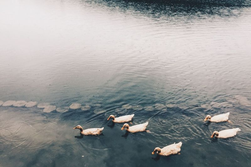 High angle view of swans swimming on lake