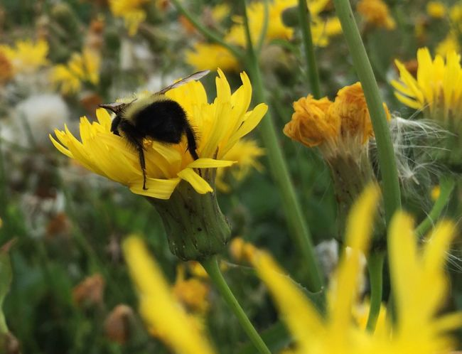 Head first into sow thistle. Bumblebee Sow Thistle Foraging Behind Bottoms Up Yellow Flower Plant Yellow Beauty In Nature Nature Pollination Pollinators Petal Animals In The Wild One Animal Flower Head Close-up Animal Wildlife Outdoors No People