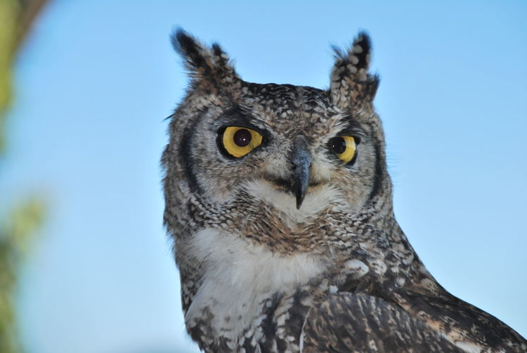 Close-up portrait of owl perching against clear sky