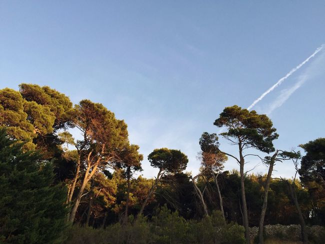 Aleppo pine 3, Veli Losinj, Croatia, 2016. Rovenska Veli Lošinj Croatia Tree Nature Pine Pine Tree Aleppo Pine Sky Beauty In Nature Low Angle View Growth Tranquility Scenics