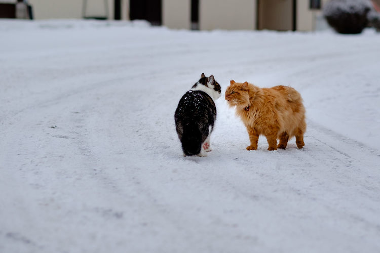 Cats Standing On Snow Covered Field