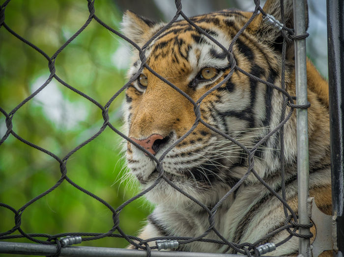 Animal Animal Head  Animal Themes Animal Wildlife Animals In Captivity Animals In The Wild Big Cat Carnivora Cat Close-up Feline Fence Focus On Foreground Mammal Metal Mouth Open No People One Animal Tiger Vertebrate Whisker Zoo
