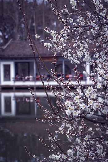 Close-up of cherry blossom against tree