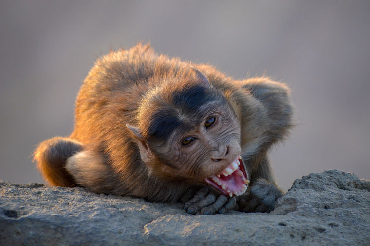 Close-up portrait of monkey on rock