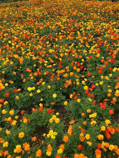 花畑 Flower
