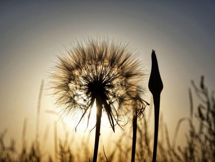 Sun dandelion