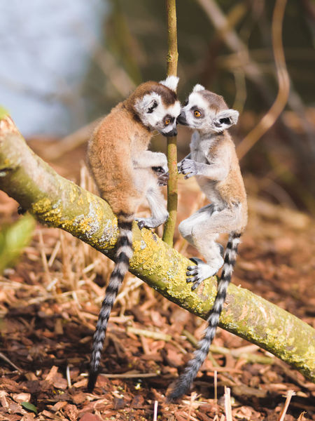 Animal Themes Animal Wildlife Animals In The Wild Baby Animals Branch Day Lemur Lemurs Mammal Monkey Nature No People Outdoors Pairi Daiza Playful Sitting Tree Two Animals Zoo Cute Animals