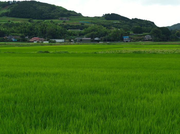Summer color. Simple Quiet Love Cloudy EyeEm Nature Lover EyeEmNewHere Japan M.ZUIKO DIGITAL Lumix G9 Idyllic No People Tranquil Scene Tranquility Waterdrops Growth Agriculture Scenics Day Outdoors Rice Paddy Green Color Beauty In Nature Nature