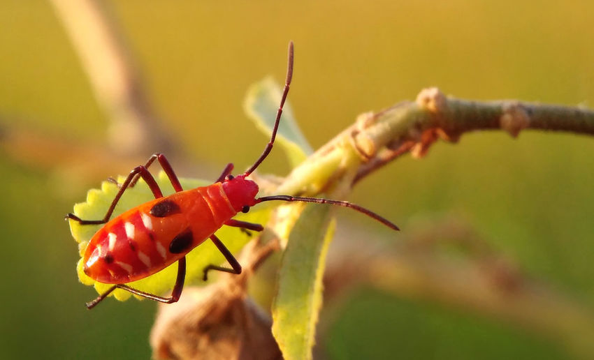 Mr Pucung Animal Themes Animal Wildlife Animals In The Wild Bali Beauty In Nature Close-up Day East Java Focus On Foreground Freshness Greatest Moment Greatest_shots INDONESIA Insect Insects  Java Macro Macro Photography Mr Pucung Nature No People One Animal Outdoors Pucung Red