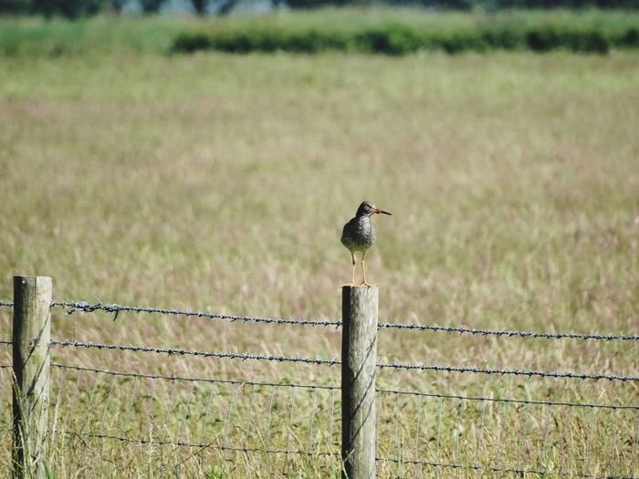 Bird perched. Animals Sea Birds Sea Bird Birds Boundary Fence Barrier Bird One Animal Animal Themes Vertebrate Field Animals In The Wild Barbed Wire Animal Animal Wildlife Perching No People Land Wire Nature Landscape Protection
