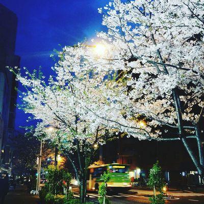 Tree Cherry Blossoms
