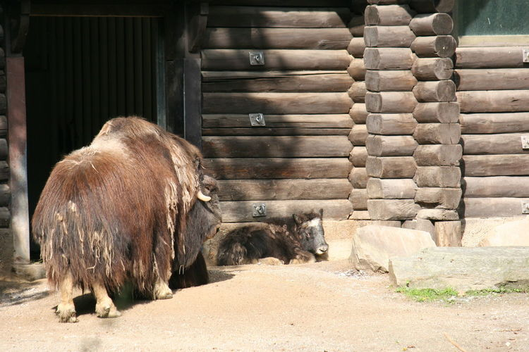 Bison Calf and Adult American Bison American Bisons Animal Themes Architecture Bison Bison Calf Bisons Bovinae Buffalo Buffalo Calf Built Structure Day Domestic Animals European Bison Even-toed Ungulate Livestock Mammal No People One Animal Outdoors Two Animals Zoo Animals