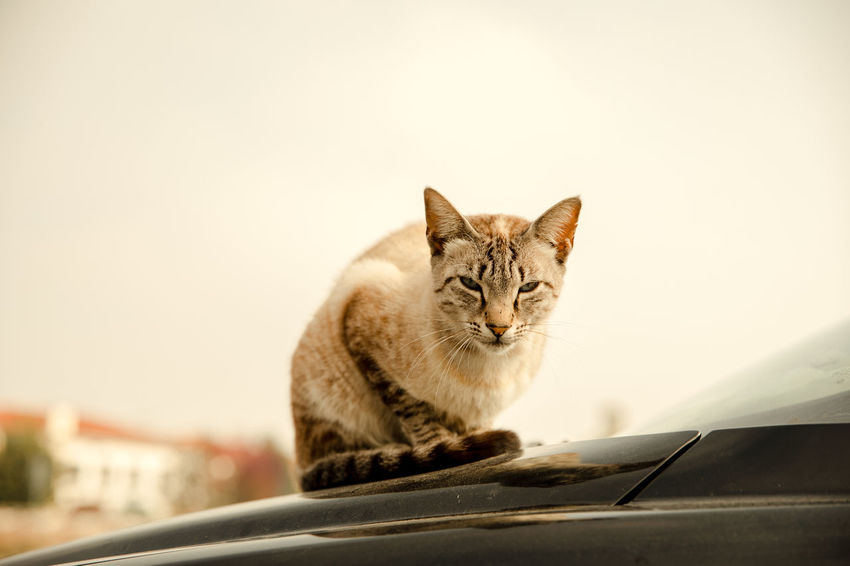 Street cat with a critical expression in his face sitting on an a car Critical Expressive Accusation Car Cat Emotion Hatred No People Street Cat Tension Warm Light