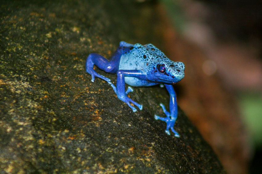 Tropical blue frog Animal Themes Animals In The Wild Blue Blue Frog Close-up Frog Nature Nature No People Nopeople One Animal Outdoors Tropical Frog