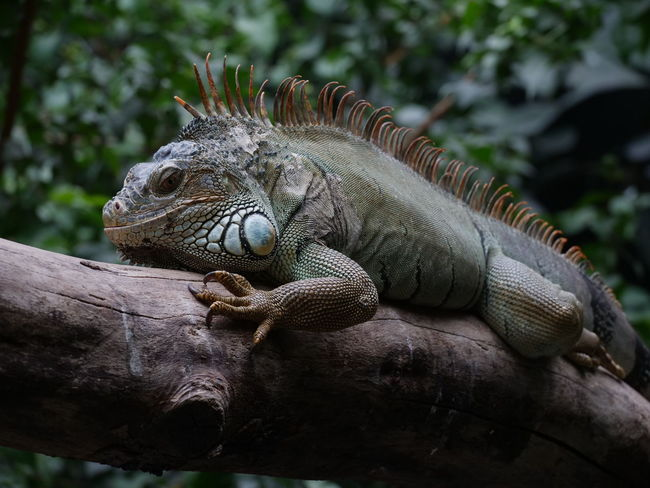 Animal Themes Animal Wildlife Animals In The Wild Close-up Day Iguana Lizard Nature No People One Animal Outdoors Reptile Tree