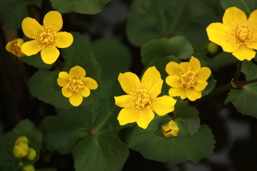 Marsh Swamp Yellow Flower Beauty In Nature Blooming Close-up Day Flora Flower Flower Head Fragility Freshness Growth Leaf Marsh Marigold Nature No People Outdoors Petal Petals Plant Yellow