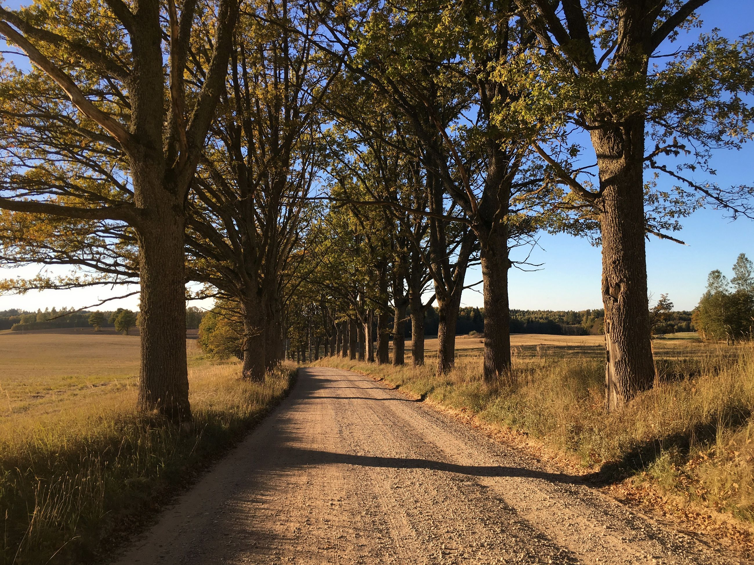 tree, the way forward, tranquility, diminishing perspective, dirt road, tranquil scene, landscape, growth, vanishing point, road, field, nature, rural scene, sky, beauty in nature, scenics, sunlight, transportation, clear sky, footpath