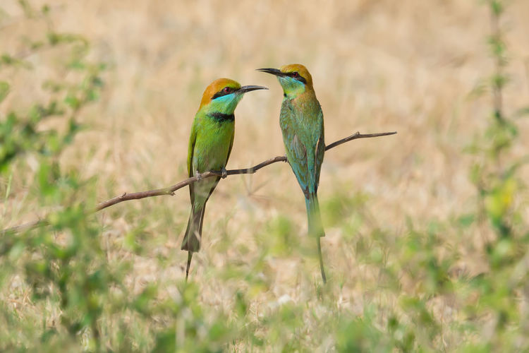 Close-up of bee-eaters perching on twig