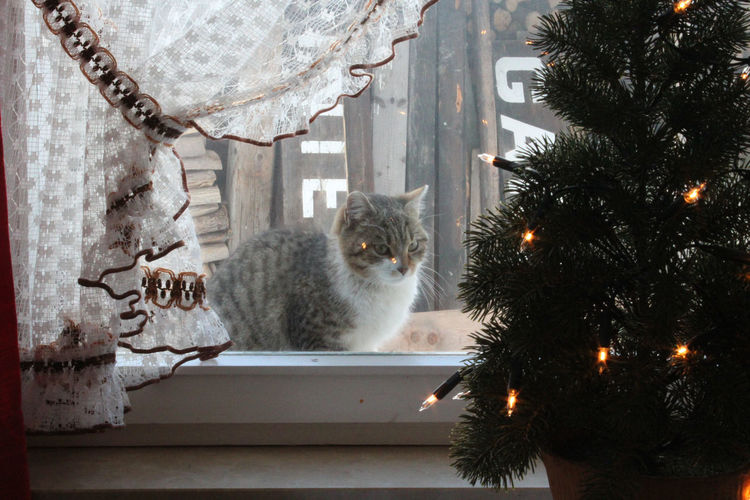 cat in the window Cat Domestic Pets Mammal Feline Domestic Cat Animal Domestic Animals Animal Themes Tree One Animal Christmas Decoration Plant Vertebrate Sitting Celebration christmas tree No People Looking Maine Coon Cat Whisker