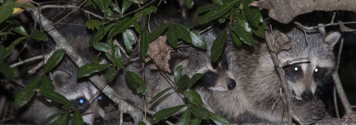 Animal Themes Animals In The Wild Close-up Domestic Animals Mammal Nature Outdoors Raccoon Lover Raccoons