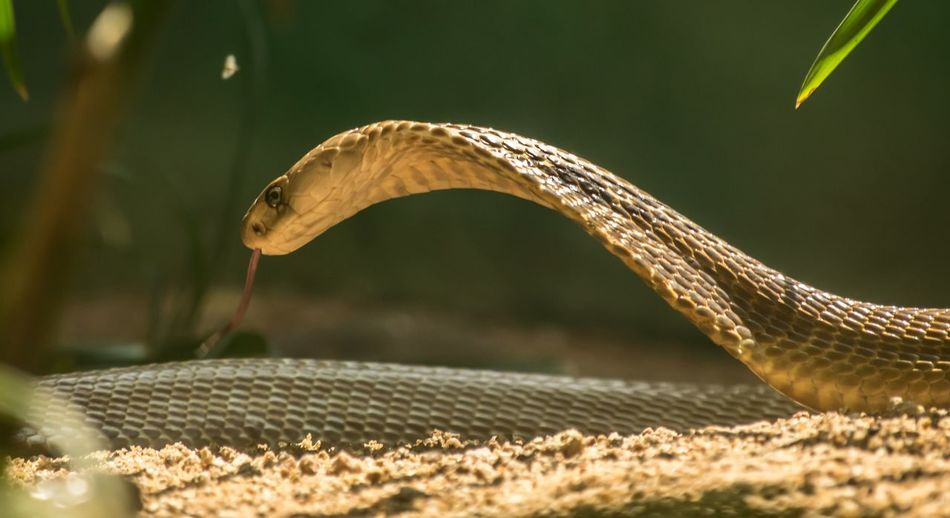 Action Begins #Snake Animal Animal Themes One Animal Snake Reptile Animal Wildlife Vertebrate Animals In The Wild Close-up Animal Body Part Nature No People Focus On Foreground Animal Head  Day Selective Focus Outdoors Plant Animal Scale Land Poisonous