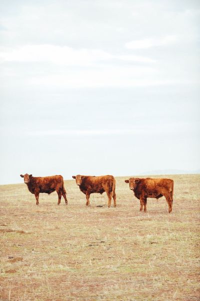 Livestock Mammal Animal Themes Domestic Animals Cow Field Nature No People Landscape Sky Day Outdoors Full Length Grass Highland Cattle