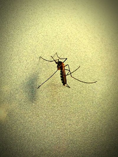 Insect Mosquito Nature Outdoors Beauty In Nature Editing Check This Out Nature First Eyeem Photo Photography Random Shots