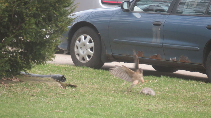 Animals Hawk Hawk Chasing Squirrel Motion Narrow Outdoors Squirrel