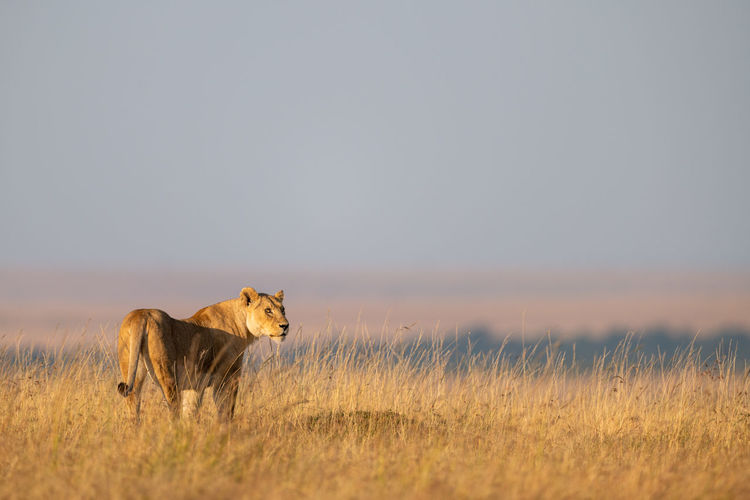 Lioness stands in long grass looking right Africa Kenya Masai Mara Kicheche Savannah Savanna Travel Nature Safari Animal Wildlife Predator Carnivore Lion Panthera Leo Feline Cat Big Cat Big Five Animal Themes Mammal One Animal Lion - Feline Animal Wildlife Animals In The Wild Vertebrate Sky Grass Plant No People Field Carnivora Landscape Land Lioness Outdoors Undomesticated Cat