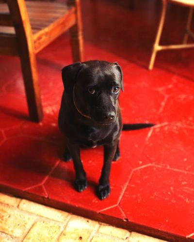 dog Dog Red Black Color Animal Themes Close-up